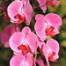 Pink Orchids 20200109