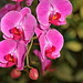 Pink Orchids 2-20200109