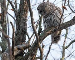 Cain and Abel (jakegurnsey) Tags: barredowl bird wildlife owl ontario canada birds sony birding raptor barred a6300