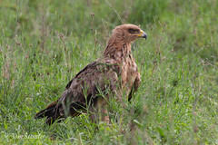Steppe eagle (Tom Stentler) Tags: bird birds tanzania bbc birdofprey nationalgeographic serengetti bbcearth eagle steppeeagle steppearend