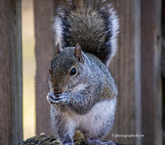 One for Breakfast Please (Photographybyjw) Tags: one for breakfast please skippy is enjoying veranda this close up shot north carolina ©photographybyjw fence weathered wood rural country squirrel animal