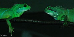 Friends (Laura G F) Tags: lizard animals photography green zoo reptiles