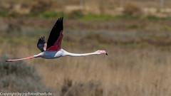 Greater Flamingo (xrxss15) Tags: algarve alvor animalia animals aves birds europe flamingos greaterflamingo phoenicopteridae phoenicopterusroseus portugal riadealvor rosaflamingo tiere vögel fliegend flying