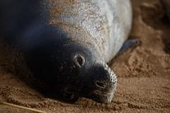 D85_0027 (mwelsch70) Tags: d850 nikon nikkor hawaii kauai seal animals beach sand monkseal
