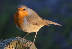 Robin (eric robb niven) Tags: ericrobbniven scotland springwatch dundee robin wildlife nature