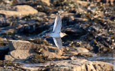 Flying Redshank (Steve (Hooky) Waddingham) Tags: animal coast canon countryside bird british flight red redshank wild wildlife wader