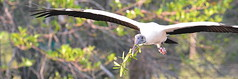 WOOD STORK (concep1941) Tags: birds storkfamily marshes
