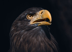 Sea Eagle Portrait (Orias1978) Tags: wings landscape nature haliaeetusalbicilla insect background snow whitetailed blue majestic scotland flight predator beak big catch feathers wilderness wildlife raptor hokkaido ice japan freedom prey fish flying winter hunt seaeagle water hunting fishing cold fly eagle albicilla sea norway ornithology feather balderne ocean erne skye avian bird haliaeetus sky wild fauna animal marine white