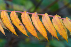 Changing colors (Eric Rincker Fotografie) Tags: blad bladeren leaf leafs leaves yellow geel autumn herfst closeup detail details sonyrx10m4 sony tree boom