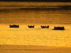 2153ex  Hippo ears at sunset (jjjj56cp) Tags: hippo hippopotamus hippopotamuses wildlife inthewild amboseli kenya ke africa africansafari lake sunset gold golden silhouette ears partlysubmerged shimmer shimmering p900 coolpixp900 nikoncoolpixp900 jennypansing amboselinationalpark nationalpark