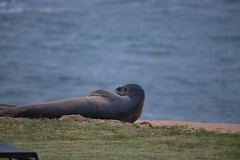 D85_0003 (mwelsch70) Tags: d850 nikon nikkor hawaii kauai ocean seal animal water beach monkseal