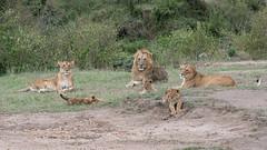Worrying Times (2) (Tris Enticknap) Tags: africa kenya africanlion masaimara masaimaranationalreserve lion pantheraleo bigcat