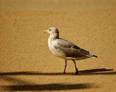 La mouette qui ne riait pas - The seagull who didn't laugh (p.franche malade - Sick) Tags: macro nature bokeh sony sonyalpha65 dxo belgium belgique belgïe europe pfranche pascalfranche photolab3 oiseau mouette plage sable plumes été 2018 flandre côte vacances closeup animal bird seagull beach sand feathers summer flanders coast vacation goéland