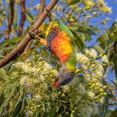 the nectar hunters - rainbow lorikeet (Fat Burns ☮) Tags: rainbowlorikeet bluey parrotbird australianbird australianparrot australianfauna fauna rainbow nectar nikond500 nikon200500mmf56eedvr wildlife australianwildlife wondunna harveybay queensland australia