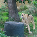 Hungry Lioness At London Zoo