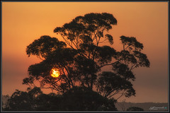 First sun in over a month 1 (itsallgoodamanda) Tags: smoke bushfiresmoke sunrise silhouettetree sun morning australiaburning amandarainphotography australia australianlandscape australianphotography australiassouthcoast summer2019 photography photoborder eeriesky itsallgoodamanda shoalhaven