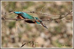 Martin-Pêcheur vol 200108-01-P (paul.vetter) Tags: nature faune oiseau vogel bird martinpêcheur alcedoatthis commonkingfisher martínpescadorcomún guardarios eisvogel alcédinidé