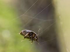 Acrotrichis (Ctenopteryx) sp. (kahhihou) Tags: taxonomy:kingdom=animalia animalia taxonomy:phylum=arthropoda arthropoda taxonomy:subphylum=hexapoda hexapoda taxonomy:class=insecta insecta taxonomy:subclass=pterygota pterygota taxonomy:order=coleoptera coleoptera taxonomy:suborder=polyphaga polyphaga taxonomy:infraorder=staphyliniformia staphyliniformia taxonomy:superfamily=staphylinoidea staphylinoidea taxonomy:family=ptiliidae ptiliidae taxonomy:subfamily=acrotrichinae acrotrichinae taxonomy:tribe=acrotrichini acrotrichini taxonomy:genus=acrotrichis acrotrichis