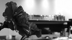 carnation at Trifecta Coffee Company (johngpt) Tags: flower attrifectacoffeecompany carnation flowers places appleiphone7plus monochromebokehthursday hmbt monochromethursday donnerstagsmonochrom