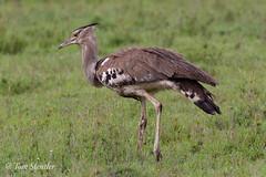 Kori Bustard - Kori Trap (Tom Stentler) Tags: nationalgeographic bbc wildlife wildlifephotography birds bird safari tanzania vogel trap koribustard