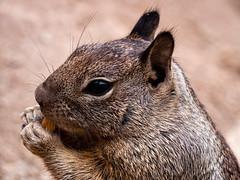 Yummy, Peanuts! (Deepmike70) Tags: nature wildlife animal mammal squirrel closeup