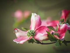 pink dogwood flowers (Christine_S.) Tags: olympusem10markiii m45mmf18 naturegardenjapancloseup spring bokeh macro mirrorless microfourthirds morning ngc npc