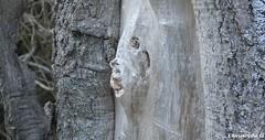 Quand un tronc d'arbre prend la forme d'une tête humaine... When a tree trunk takes the shape of a human head...(Mont Ventoux - Vaucluse - 6 janvier 2020) (Carnets d'un observateur de la nature du Sud de la) Tags: tronc arbre nature fantôme réincarnation forêt montventoux vaucluse provence étrange strange