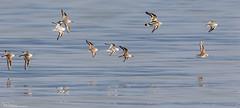 Waders on the wing (Steve (Hooky) Waddingham) Tags: animal countryside coast canon bird british wild wildlife wader northumberland nature flight dunlin sanderling turnstone photography
