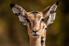 impala - Kruger NP - South Africa (bart coessens) Tags: animals animal mammal mammals impala antelope antiloop herbivore wildlife wildanimals wildedieren game gameviewing gamedrive safari sanp sanparks kruger krugernationalpark africa africanwildlife southafrica southernafrica southafricannationalparks limpopo letaba letabariver