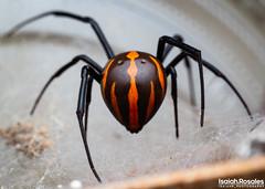 Latrodectus mactans (Isaiah Rosales) Tags: arachnid spider macro macrophotography ngc arachnology olympus m5mark2 invert invertebrate animal blackwidow
