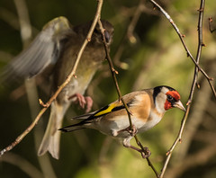 The queue for the bird feeder... (Maria-H) Tags: uk goldfinch olympus lancashire panasonic burscough wwt martinmere cardueliscarduelis 100400 omdem1markii