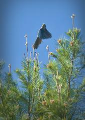 Scrub Jay In Flight (paulgarf53) Tags: birds scrub jay florida floridascrubjay nature wildlife endangeredspecies tree nikon d700