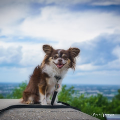 Lucille au Mont Arthabaska (guysamsonphoto) Tags: guysamson portrait dog chien chihuahua bokeh dof profondeurdechamp ciel sky nuages clouds victoriaville montarthabaska luminar4