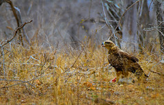 Eagle and Prey in South Africa (` Toshio ') Tags: toshio africa southafrica krugernationalpark wahlbergseagle eagle rabbit prey safari bush grass kill nature canon7d canon 7d bird