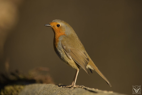 Erithacus rubecula, Pettirosso, Rouge-gorge familier, Robin