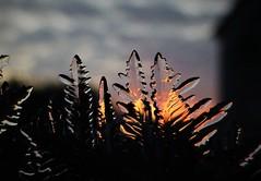 Evening Ice Fronds..x (Lisa@Lethen) Tags: ice fronds freezing freeze winter macro sunset background