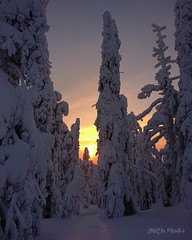 """""""Snow giants lit by fiery colors..."""" ✨ (miss.natjo) Tags: earth nature foret forest neige snow coucherdesoleil sunset laponiefinlandaise finnishlapland finland photography mobilephotography sony magicplace exploringworld neverstopexploring winter winterwonderland wonderfulworld"""
