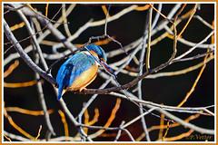 Martin-Pêcheur 200109-18-P (paul.vetter) Tags: nature faune oiseau vogel bird martinpêcheur alcedoatthis commonkingfisher martínpescadorcomún guardarios eisvogel alcédinidé
