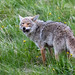 Coyote with Snack