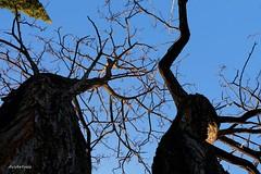 Together forever. (AviAntonio) Tags: arbres troncs branques cel blau hivern árboles troncos ramas invierno cielo azul