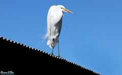 On the roof's the only place I know where you just have to wish to make it so (Shannon Rose O'Shea) Tags: shannonroseoshea shannonosheawildlifephotography shannonoshea shannon greategret egret bird beak feathers wings skinnylegs birdyfeet longtoes bluesky roof corrugated white alligatorbreedingmarshandwadingbirdrookery gatorland orlando florida gatorlandbirdrookery rookery nature wildlife waterfowl ardeaalba outdoors outdoor outside colorful colourful colors colours camera flickr smugmug wwwflickrcomphotosshannonroseoshea femalephotographer girlphotographer womanphotographer shootlikeagirl shootwithacamera throughherlens justagirlwithacamera canongirl canon canoneos80d canon80d canon100400mm14556lisiiusm eos80d eos 80d 80dbird canon80d100400mmusmii 2019 7204 birdphotographer naturephotographer art photo photography photograph wild wildlifephotography wildlifephotographer wildlifephotograph tinroof