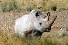 White Rhino (Alan1954) Tags: etosha namibia holiday africa 2018 rhino whiterhino animal nature