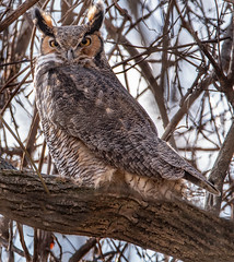 DSC_6483MROWL12 EXPLORED (ingham_laura) Tags: great horned owl owls birds prey nature raptor nikon d500 tamron lens wildlife woods perched environment wintertime