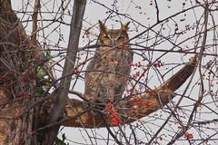 New Year's Eve #12 (Keith Michael NYC (7 Million+ Views)) Tags: greathornedowl forestpark queens newyorkcity newyork ny nyc