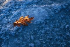 The Leaf - Hyland Park Reserve (j-rye) Tags: hylandlakeparkreserve ilce7rm2 minnesota threeriversparkdistrict a7rm2 bluehour colors ice lake leaves light minimal mirrorless nature oak sony sonyalpha sunset tamron1728 texture