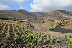 Aloe vera cultivation, Lanzarote, Islas Canarias, Spain, Nikon D810, January 2020 1157 (tango-) Tags: lanzarote islascanarias canarie canaryislands 加那利群島 جزرالكناري kanarischeinseln