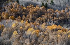 Fall In June (Lake) (gpa.1001) Tags: california owensvalley easternsierra junelake junelakeloop fallcolors monocounty