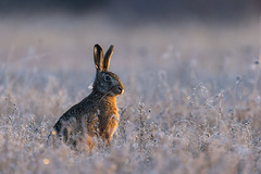 Hare in a frosty field (adambotond) Tags: frost winter adambotond hare europe europeanhare brownhare lepuseuropaeus field outdoor sunrise nature naturephotography wildlife wildlifephotography wild wildanimal wilderness canon canoneos1dx canonef400f4doisiiusm canonefextender2xiii goldenhour magyarország mammal animal hungary