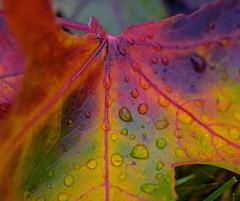 Aurora (L@nce (ランス)) Tags: macro micro leaf winter multicolor fall fallen closeup beaconhill canada park britishcolumbia nikon victoria nikkor