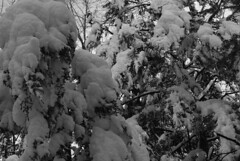 Jour du Nouvel An/New Year's Day (bd168) Tags: snow newyear winter forest trees heavy monochrome